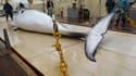 Baleine de Minke sur le point d'un baleinier japonais.