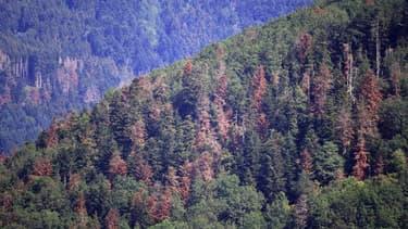 Des arbres grillés dans une forêt à proximité de Masevaux, dans le Haut-Rhin, en juillet 2019
