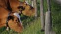 Les vaches suisses en altitude manquent d'eau, d'où le ravitaillement en France. Mais les autorités disent ne pas avoir été prévenues.
