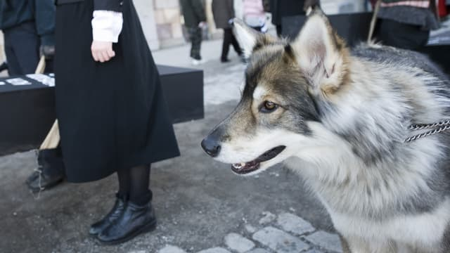 Un chien-loup lors d'une manifestation en Suède, le 6 février 2011.