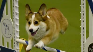 Un chien de la race corgi, lors d'une épreuve d'agilité à New York en février 2016.