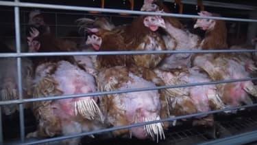 Un élevage de poules à Chauché en Vendée.