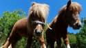 Des poneys Shetland - Image d'illustration