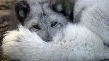 Versace vend, entre autres, des manteaux en fourrure de renard. (Photo d'illustration)
