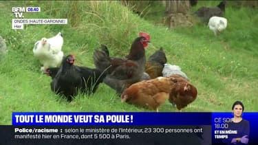 De plus en plus de Français achètent des poules pondeuses