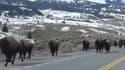 Les bisons fuient le parc du Yellowstone. Une activité volcanique dangereuse est-elle en cause?