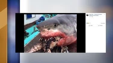 Le requin a été retrouvé mort avec une tortue coincé entre ses crocs.