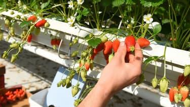 Premier producteur national avec 15.000 tonnes de fraises par an, dont la moitié de gariguette la variété phare, le Lot-et-Garonne est frappé de plein fouet par la crise du coronavirus.