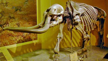 Un squelette de Stegomastodon au Smithsonian National Museum of  Natural History, à Washington DC, en 2009. (Photo d'illustration)