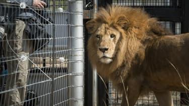 Un lion dans un zoo (image d'illustration).