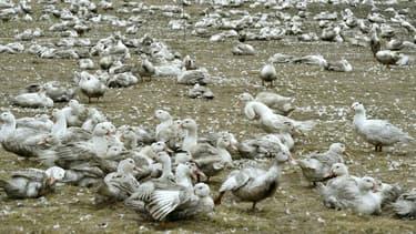 Des canards, à Bourriot-Bergonce, dans l'ouest. (Photo d'illustration)