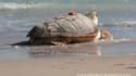 Francesca, la tortue caouenne, le jour de sa remise à l'eau le 2 juillet 2014.