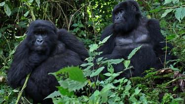 Gorilles au Rwanda, le 27 décembre 2014.