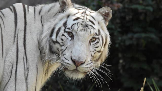 Un tigre blanc dans un zoo italien (PHOTO D'ILLUSTRATION)