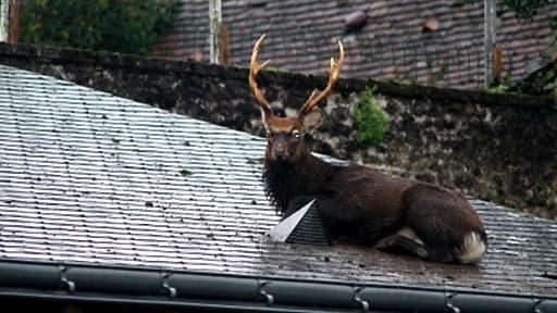Après une opération de trois heures, le hu-cerf sur le toit était reparti comme il était venu, vers 11 heures.