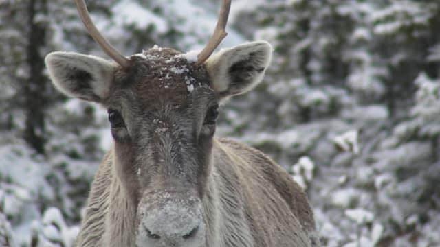 """""""Les rennes sont affamés, ils perdent leurs petits ou donnent naissance à des jeunes beaucoup plus légers"""""""