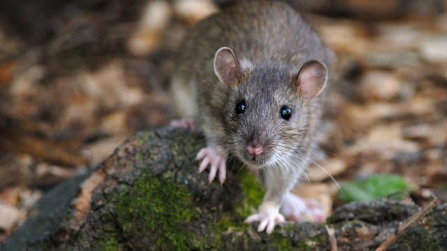 Rat photographié dans le bois de Vincennes à Paris.