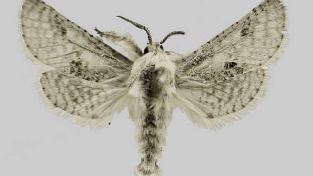 Le papillon de nuit en question.