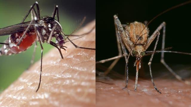 A gauche, un moustique tigre, à droite, un moustique commun