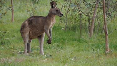 Un kangourou, image d'illustration.