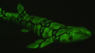 Un requin fluorescent photographié en 2015 au large de San Diego