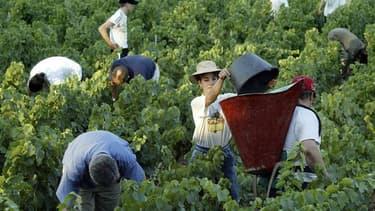 Les vignerons du Beaujolais, où l'on ramasse encore le raisin à la main, attendent en septembre 40.000 saisonniers, dont 10.000 restent à trouver, pour des vendanges qui, crise oblige, attirent un public de plus en plus large et international. /Photo d'ar