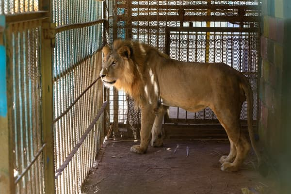Un lion mal nourri dans sa cage au parc de Al-Qureshi, à Khartoum, au Soudan, le 19 janvier 2020