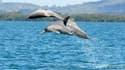 Une nouvelle espèce de dauphins a été identifiée.