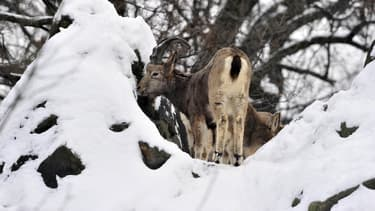 Une entreprise de Carpentras proposerait sur son site internet de chasser le chamois dans le Mont Ventoux. Photo d'illustration AFP