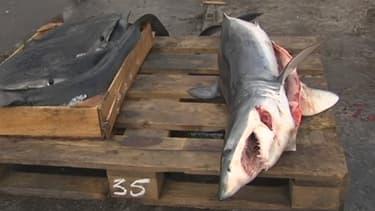 Le requin mako qui a attaqué Ramon Arufe lundi.