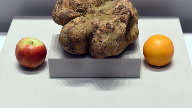 La truffe blanche vendue samedi devient la plus grosse jamais découverte dans le monde.