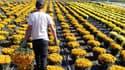 Une production de chrysanthème en Corse.