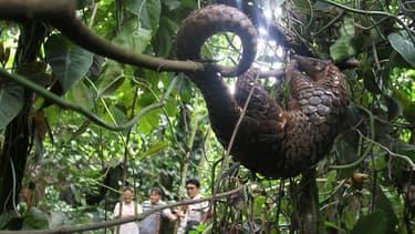 Un pangolin relâché dans la nature en Indonésie en 2012