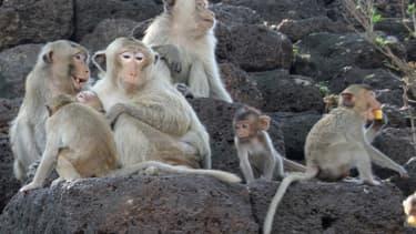 Des macaques - Image d'illustration