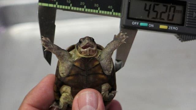 Une nouvelle espèce de tortue a été découverte au Mexique en mai dernier