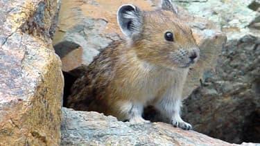 Le pika est un rongeur qui vit entre le Tibet, la Chine et la Mongolie.