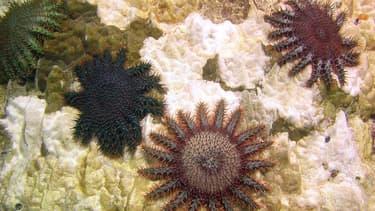 Plusieurs étoiles dévoreuses de corail (acanthaster planci) en Polynésie française.