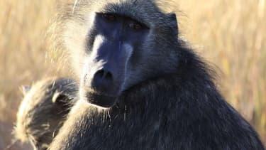 Cinq babouins ont reçu un cœur de porc et ont vécu jusqu'à 945 jours.