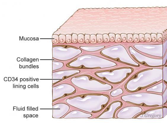 L'organe découvert, ici sous la couche supérieur de la peau, est un réseau corporel de compartiments interconnectés remplis de liquide et soutenus par un réseau de protéines fortes et flexibles