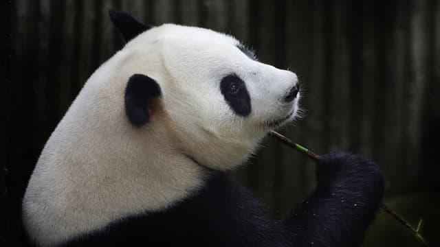 Ai Hin mâchouillant une tige de bambou, le 17 juillet 2014, quand les médecins pensent encore que la femme est enceinte.
