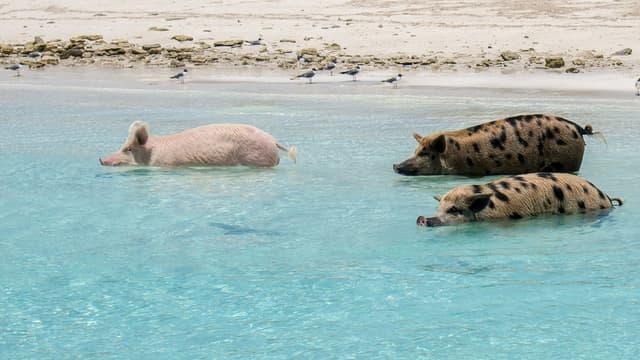 Les fameux cochons nageurs des Bahamas.