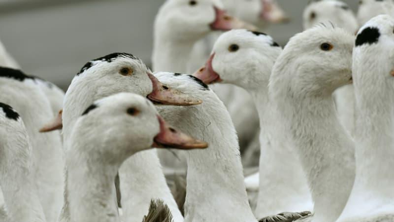 Grippe aviaire: un premier élevage de canards contaminé dans les Landes