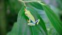 Grenouille aux yeux rouges, espèce endémique