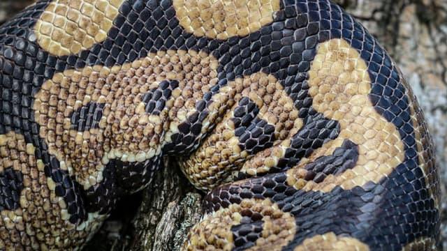 Un python, photo d'illustration. - Flickr - CC Commons - PRO Chris Parker