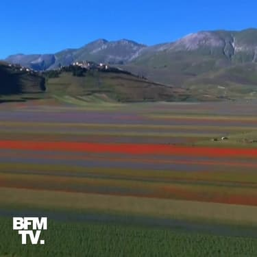 Le magnifique spectacle des champs de lentilles en pleine floraison dans le centre de l'Italie
