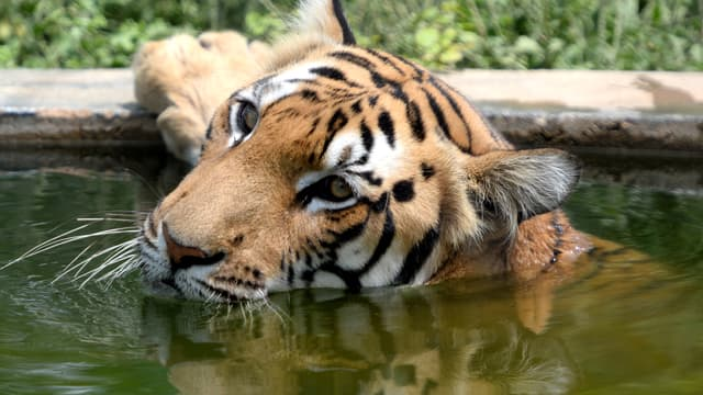 Un tigre du Bengale au zoo de Chennaï, en Inde, le 24 juillet 2018.