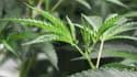 Le cannabis à usage médical est autorisé depuis une dizaine d'années.