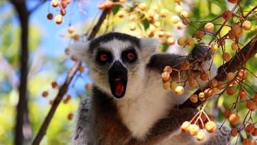 """Lémurien de Madagascar.. Le """"grand hapalémur"""" est une espèce en voie de disparition."""