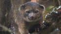 L'olinguito est un lointain cousin des ratons laveurs.