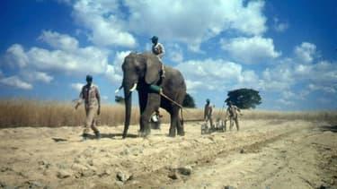 Un éléphant utilisé dans l'agriculture dans la réserve d'Imire, près de Harare au Zimbabwe, le 15 juillet 1996